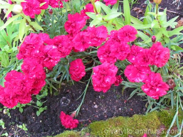 Carnations!