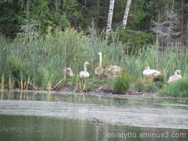 Swan family's long journey starts soon!
