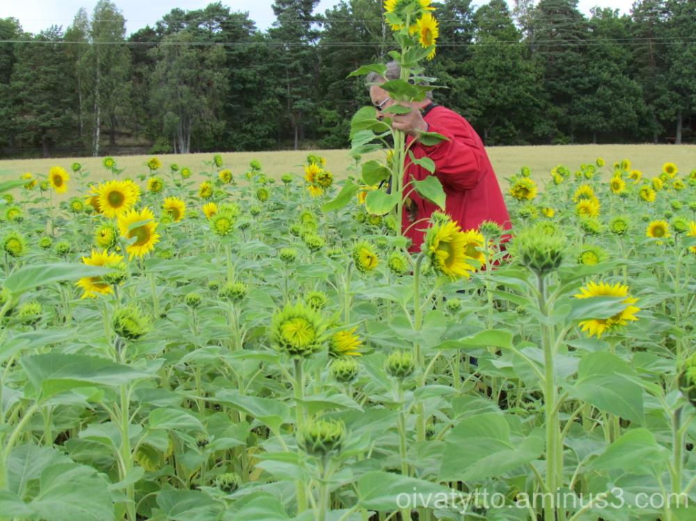 Sunflowers home !