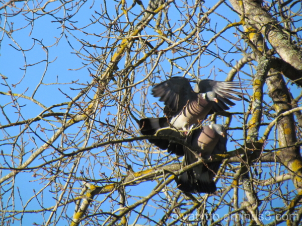 Wood pigeon clinch!