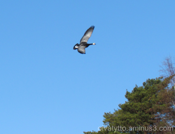 The barnacle goose and the blue sky!