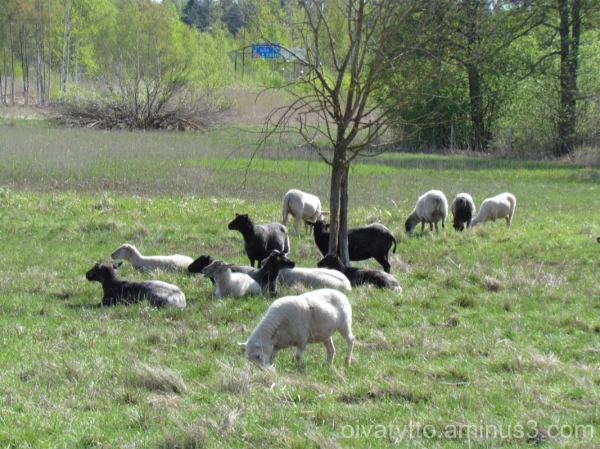 The sheep got out!