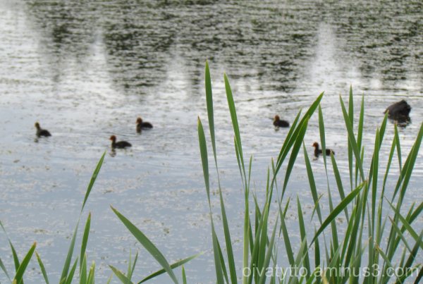 Coot and five cubs!