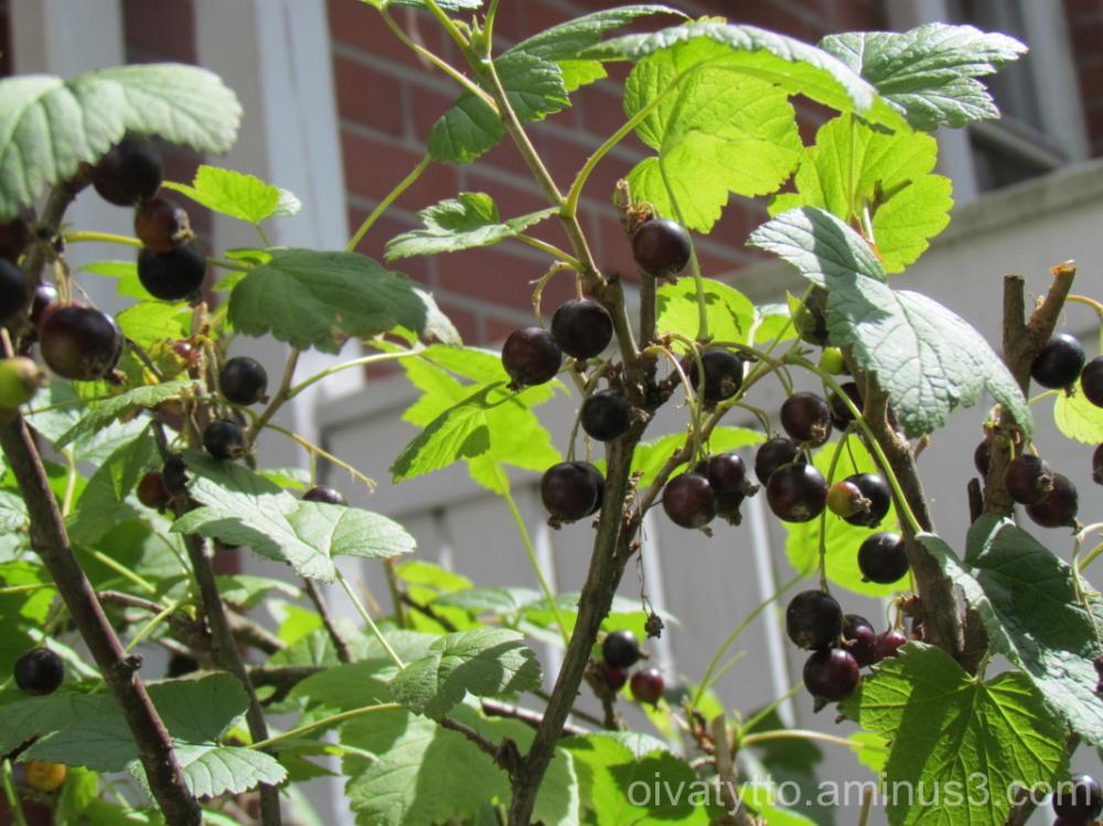 Black currants!