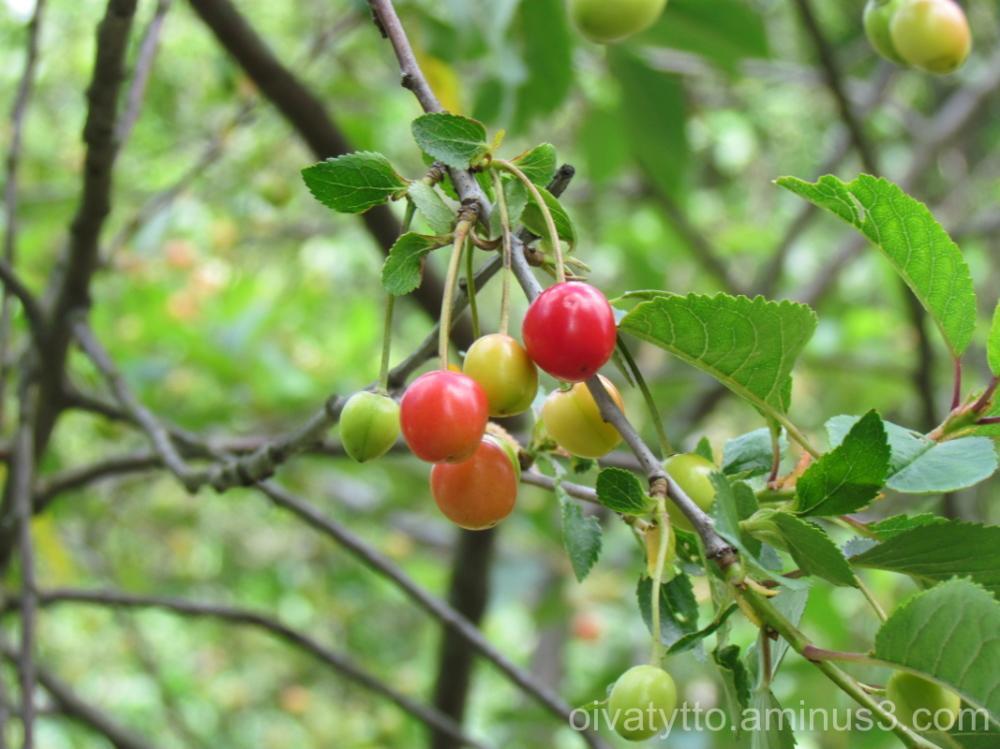 Turku Castle park cherries ripen!