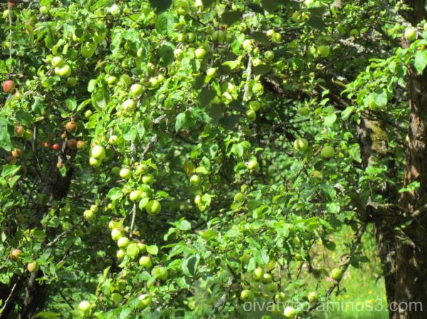 Domestic apples!