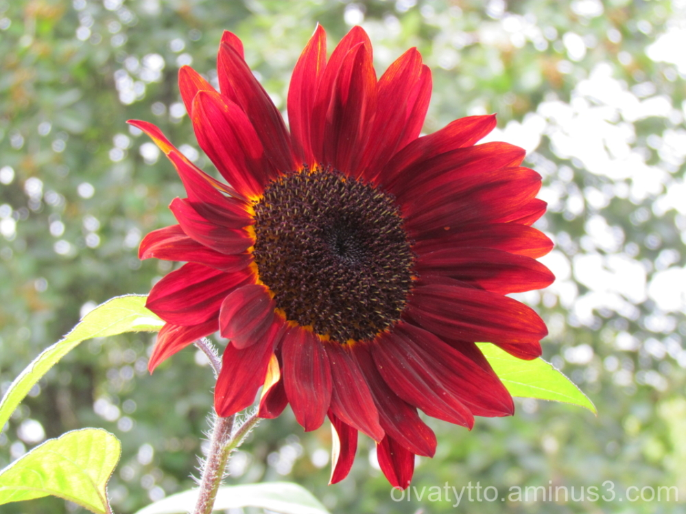 Red Sunflower.