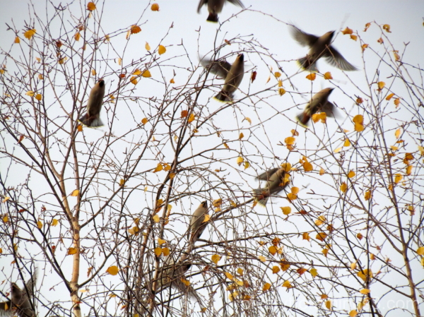 Waxwings arrived.