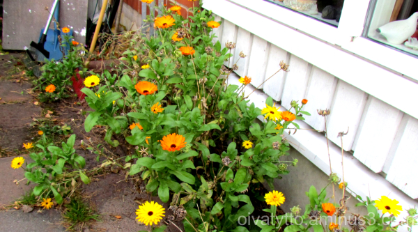 Winter is coming soon, calendula  blossoms yet.