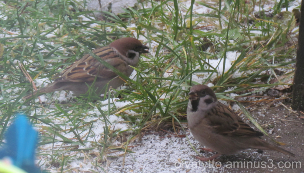 A couple of the tree sparrow.