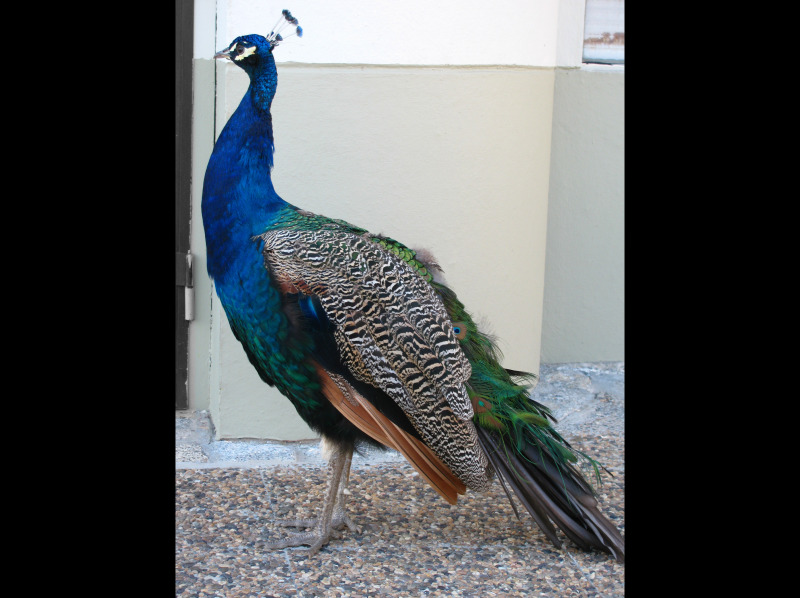 a peacock from the reina sofia gardens in spain