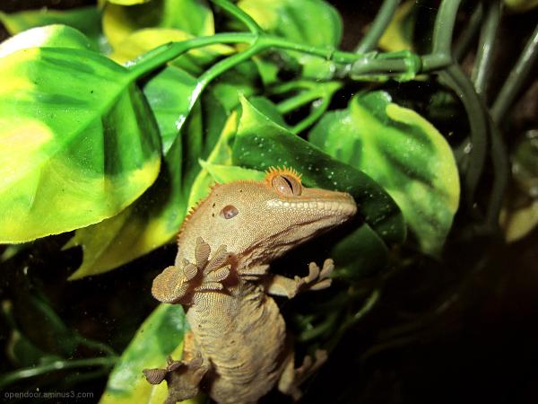 Eyelash Crested Geck, lizard, scales, macro.