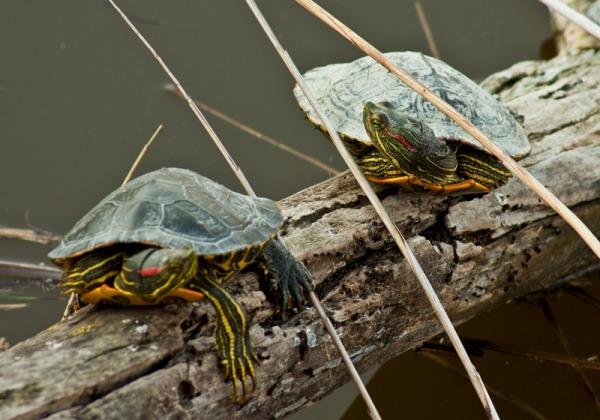 remolar delta llobregat tortuga turtle
