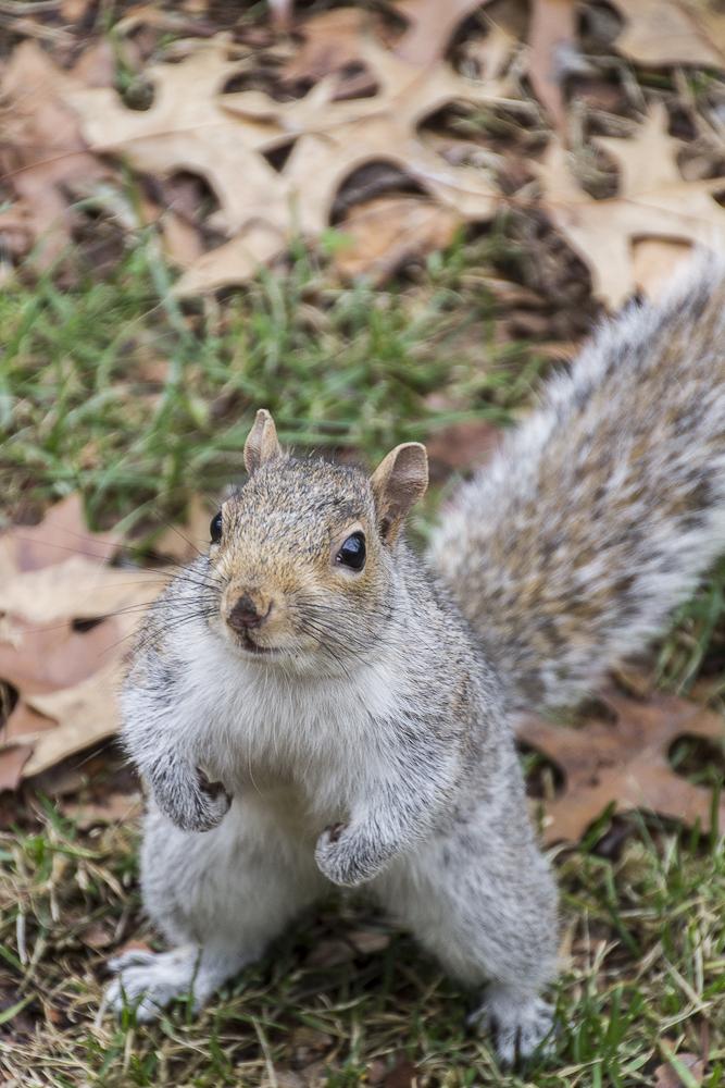 squirrel central park NYC