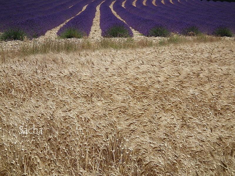 Lavande , plateau de Valensole Provence # 4