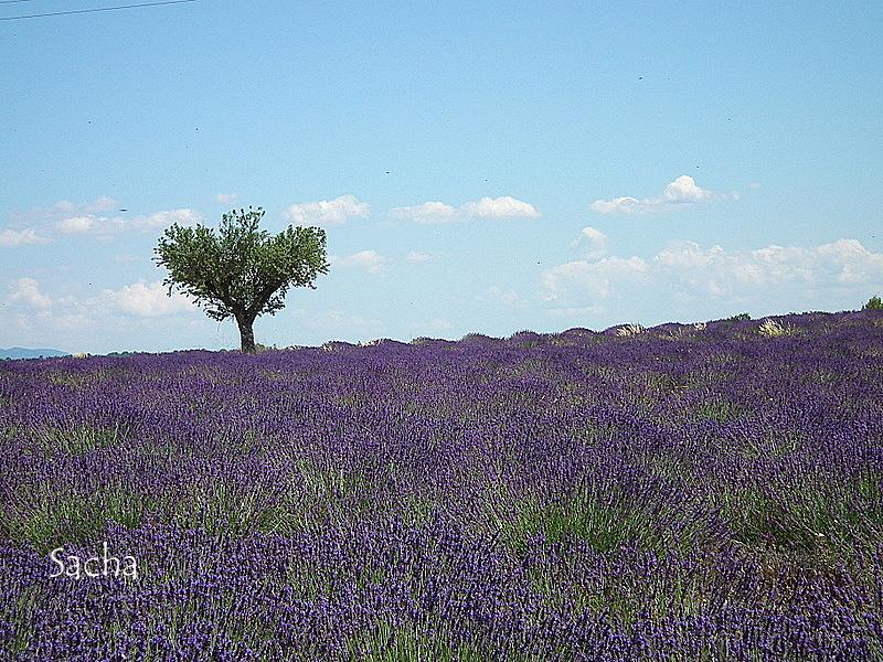 Lavande , plateau de Valensole Provence # 12