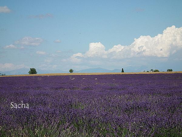 Lavande , plateau de Valensole Provence # 14