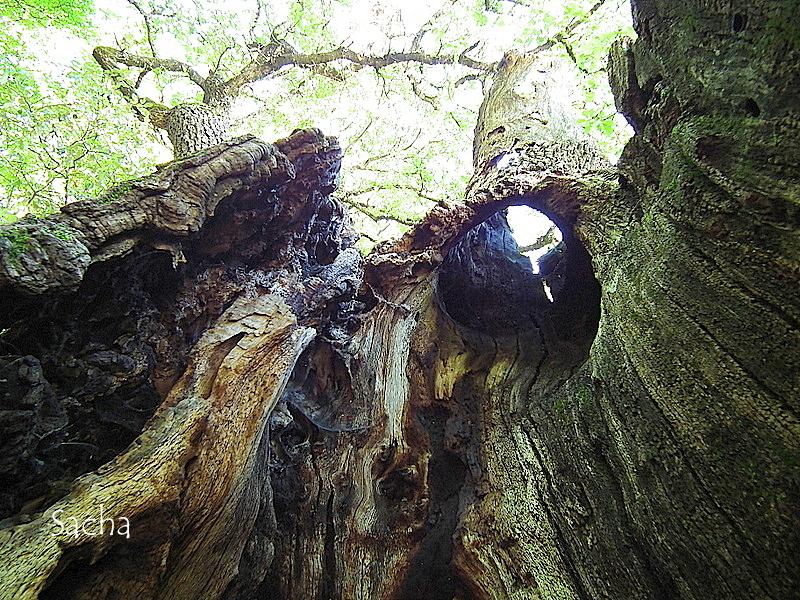 """Vieil arbre """" Chêne  abbaye de  Sénanque """""""