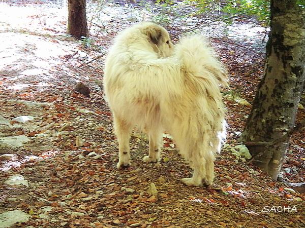 Patou chien de berger Jas de Roussas Ventoux