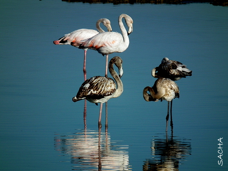 Flamants  roses  et becaruts