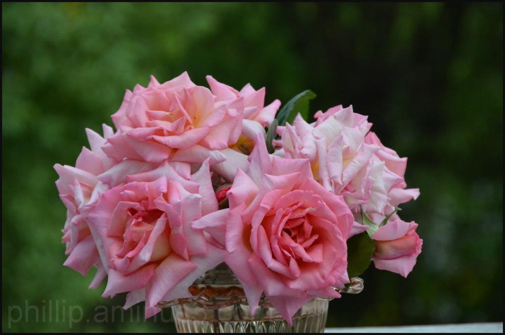 """""""Rose"""" 2"""