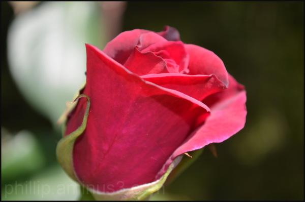 """""""Rose"""" 4"""