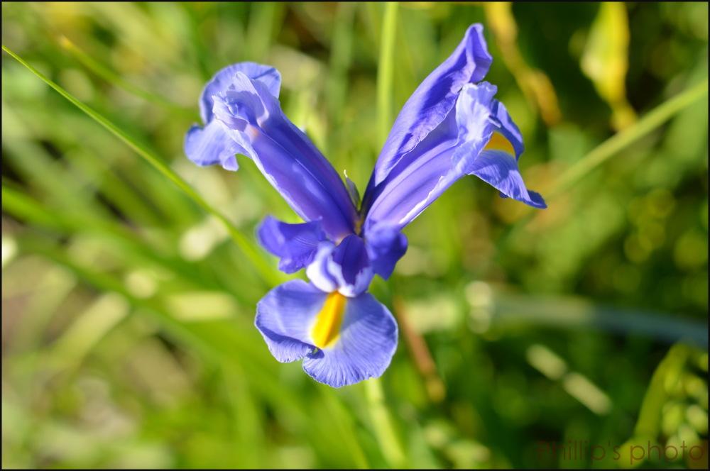 """""""Blue Iris"""""""