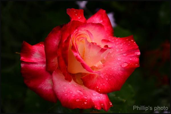 Rose#7