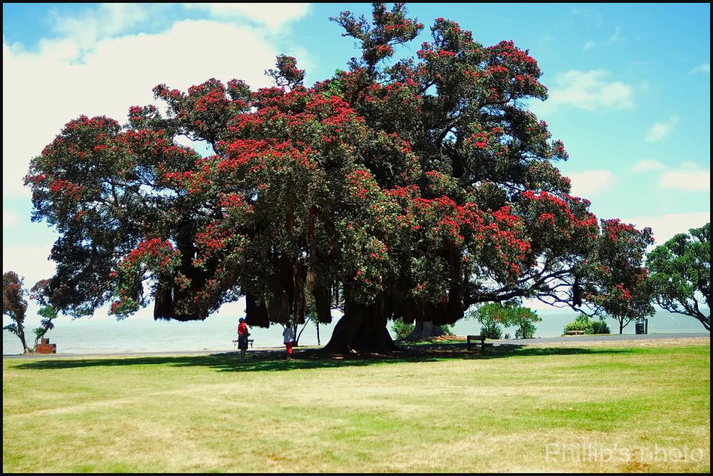 New Zealand Christmas Tree 1