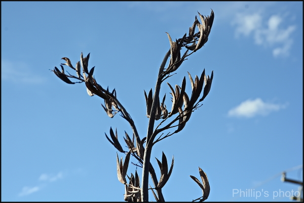 Flax Seed Heads