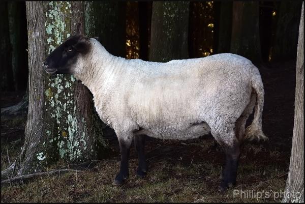 Fat Lamb
