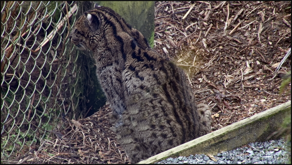 The fishing cat