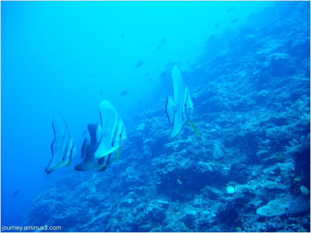 Mamanuca batfish