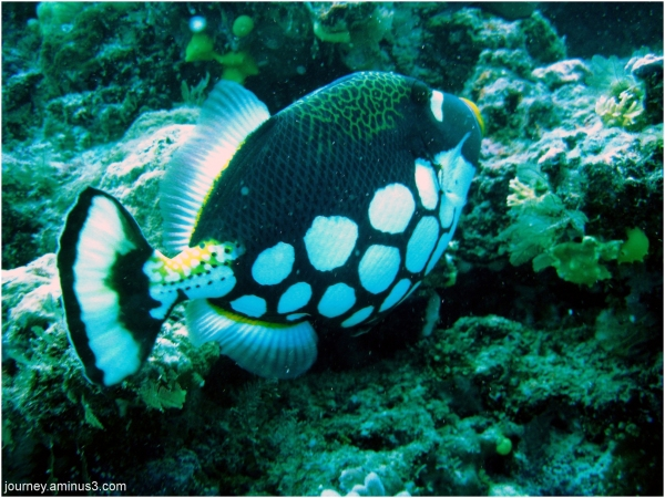 Clown Parrot fish