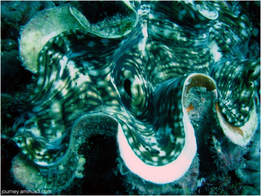 Fijian Giant Clam
