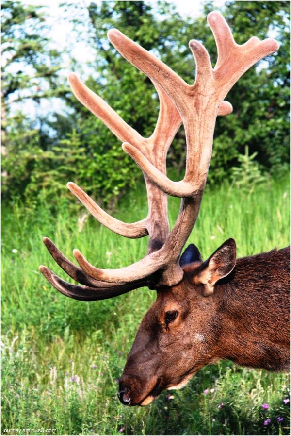 Elk Headshot