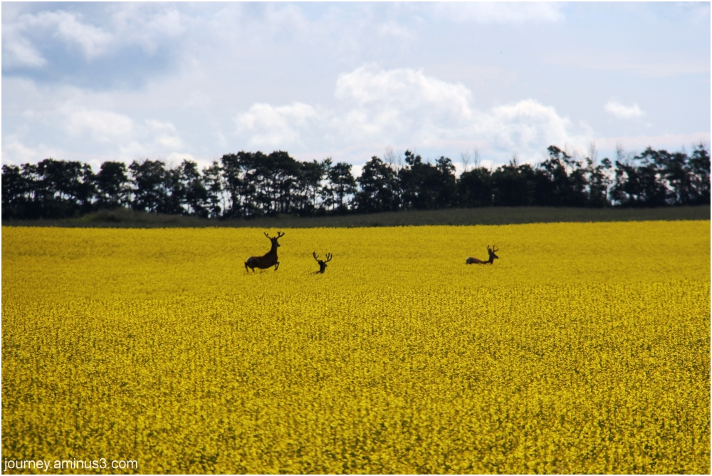 3 deer in Canola