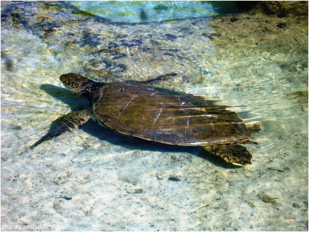 Atlantis Turtle2