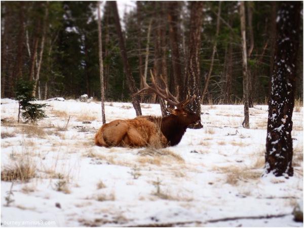 Fairmont Elk