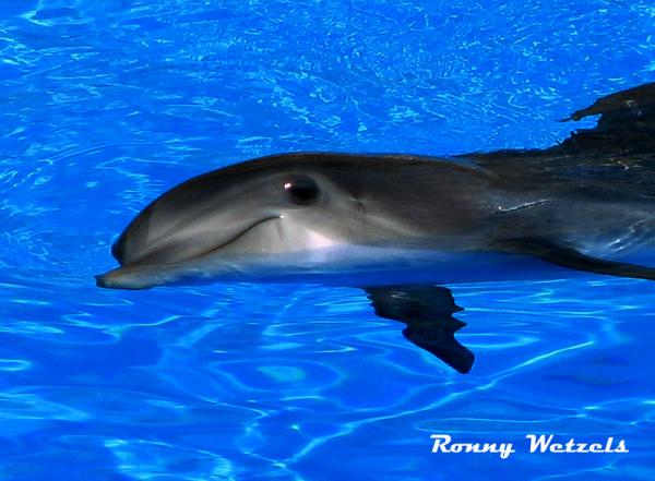 Dolfijnen (Delphinidae)