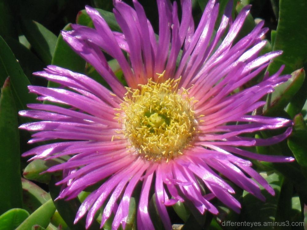 Beach flower in Dromana