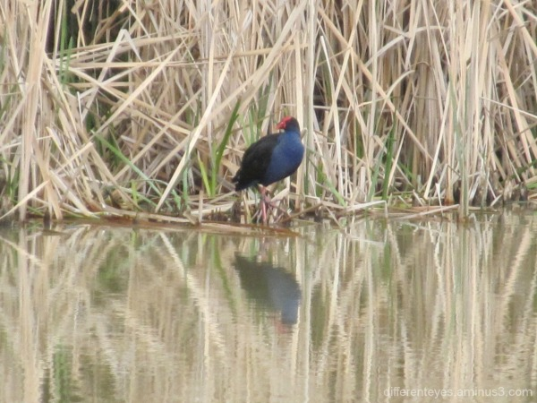 pukeko in the Dromana wetlands