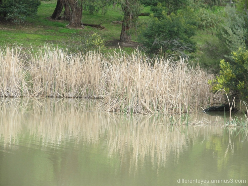 Dromana wetland reflections...