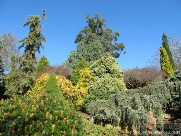 conifers at the Enchanted Maze Arthurs Seat