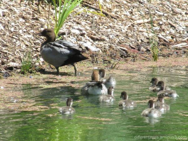 ducks at Enchanted Maze Garden