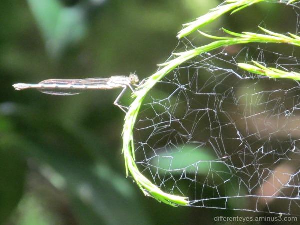 dragonfly and cobweb