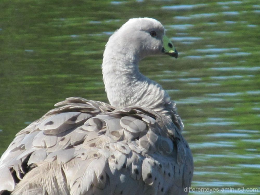 Cape Barren goose at Coolart, Somers