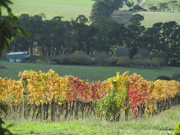 autumn vines at Red Hill