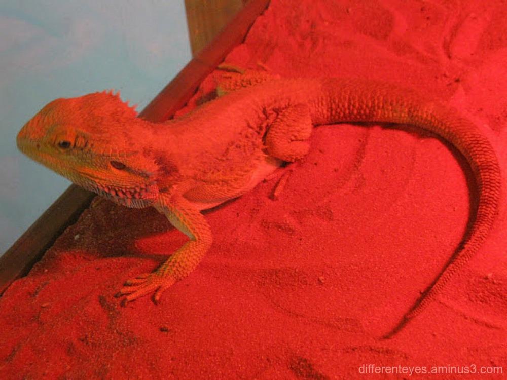 lizard at Moonlit Sanctuary, Pearcedale
