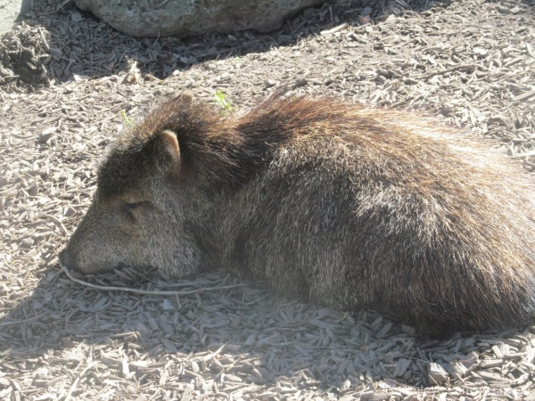 peccary pig at Melbourne Zoo